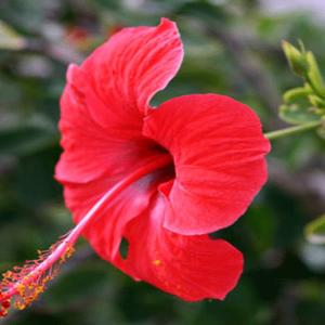 Làm đẹp với hoa râm bụt bạn sẽ phải bất ngờ với tác dụng đấy!